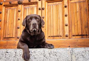 Photo hommage à vieux chien labrador chocolat.