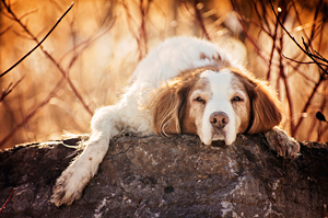 Photo vieux chien épagneul Breton à Brossard.  Brittany Spaniel photo.