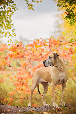 Chien labrador dans un parc à Brossard.