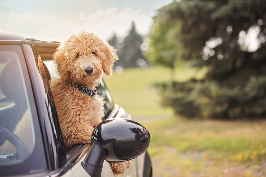 Photo chien goldendoodle en auto Mini