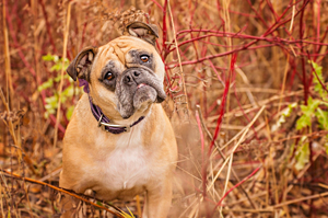 Photo de chien mélange bulldog et pug