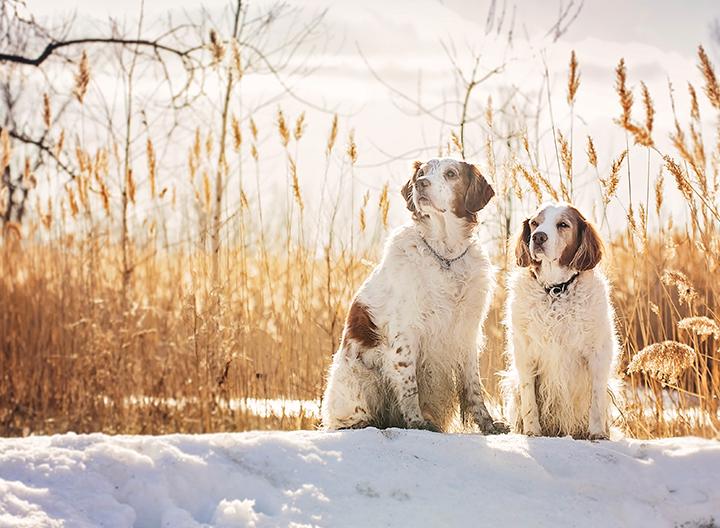 Portrait de chien boxer aux services animaliers de la rive-sud