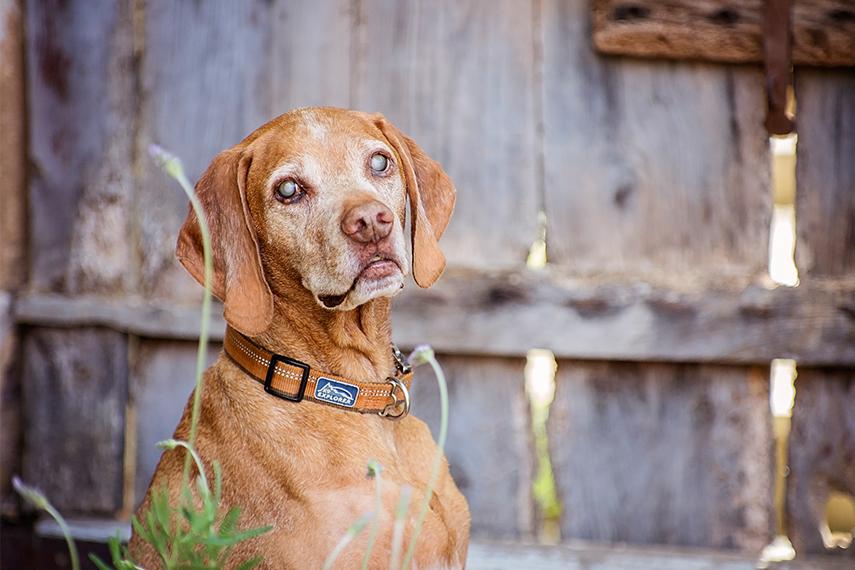 Photo hommage chien vizsla