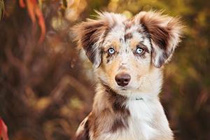 Portrait d'un chiot berger australien