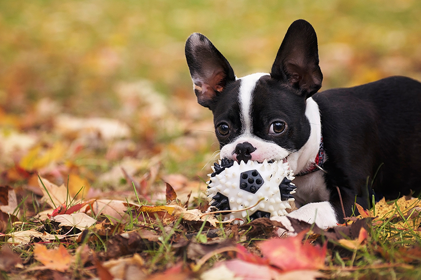 Photo chiot boston terrier