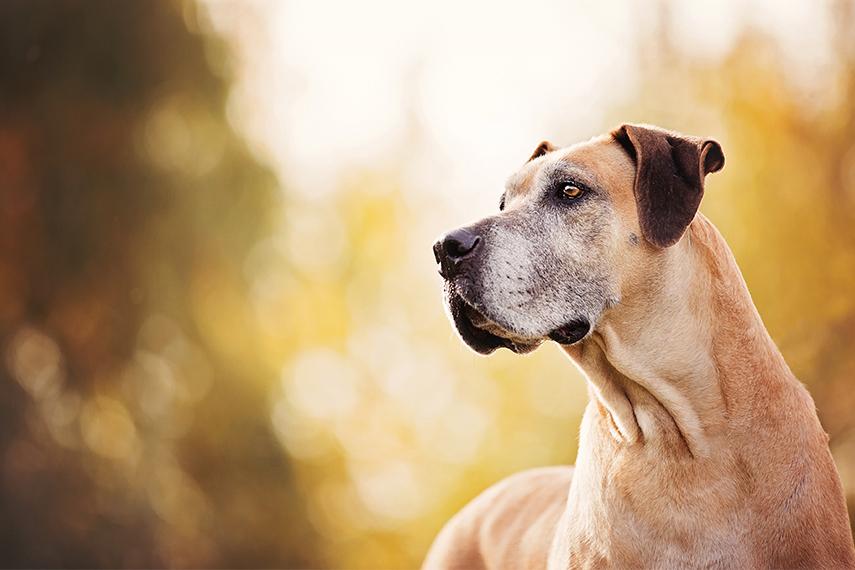 Photo chien âgé avec museau blanc