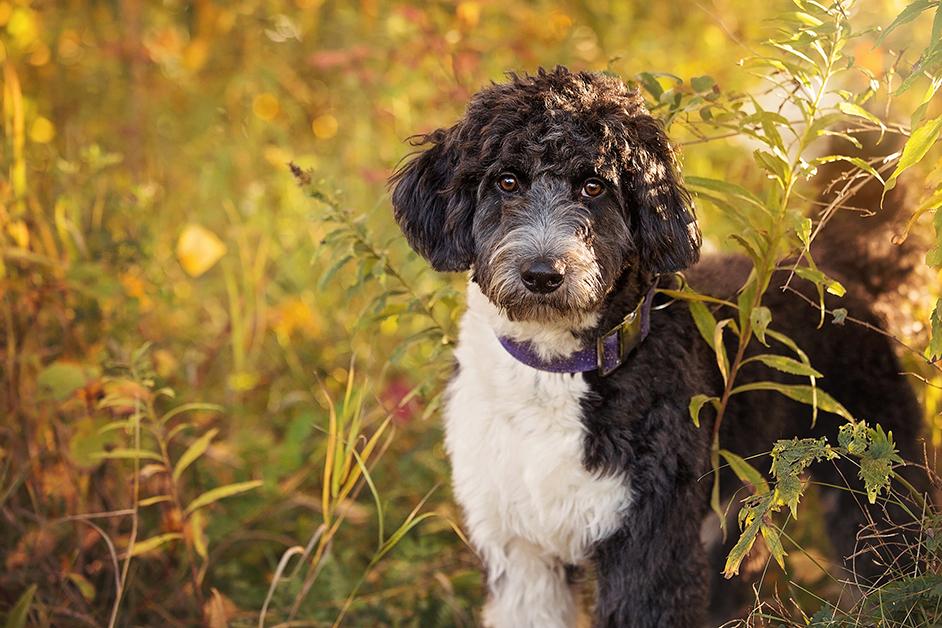 Portrait chien  mélange de caniche et berger australien