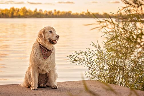Chien âgé golden sur le bord de l'eau