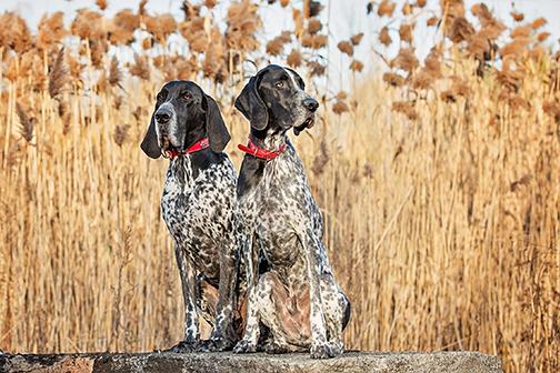 Photo chiens braques à Chambly