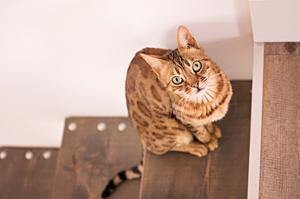 Portrait d'un chat de bengal