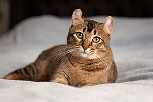 Portrait chat highland lynx