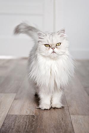 Portrait d'un chat persan à l'intérieur