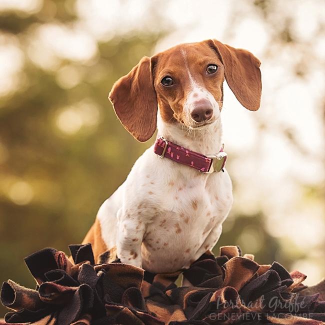 Portrait chien saucisse