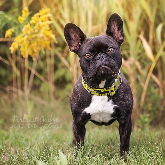 Portrait chien bouledogue français