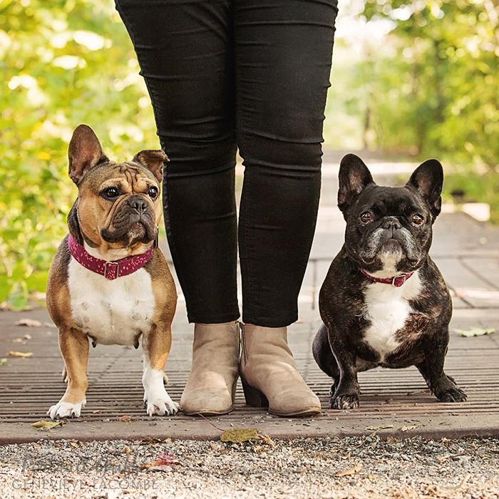Portrait chiens bouledogues français