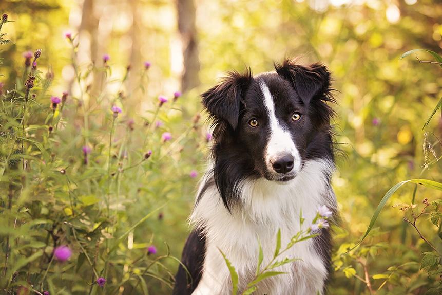Photo chien jeune border collie