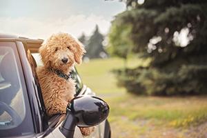 Chiot goldendoodle dans auto mini