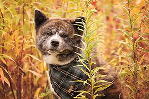 Shiba inu bringé avec foulard