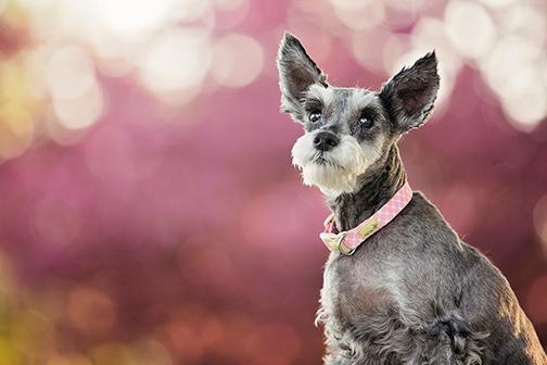 Portrait chien schnauzer âgé avec fond rose