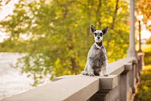 Photo chien schnauzer âgé dans un parc