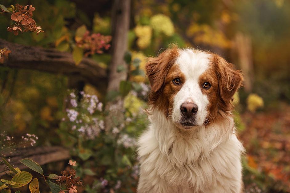 Portrait chien mélange de berger australien et de bouvier bernois.