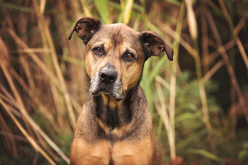Portrait vieux chien brun mélangé
