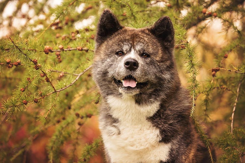 Portrait chien Shiba inu bringé