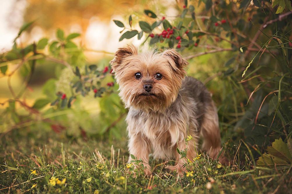 Portrait chien âgé yorkshire terrier