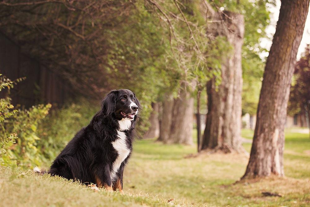 Portrait chien bouvier bernois nature