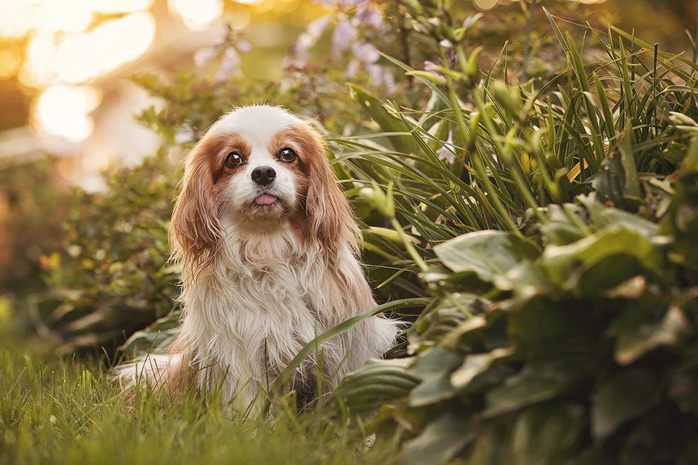 Photo chien âgé cavalier King Charles