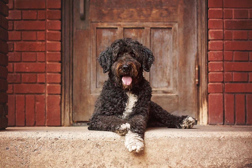 Portrait chien goldendoodle noir