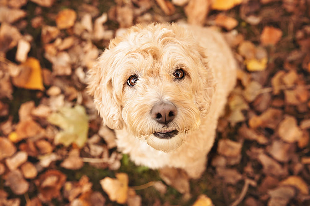 Portrait goldendoodle automne