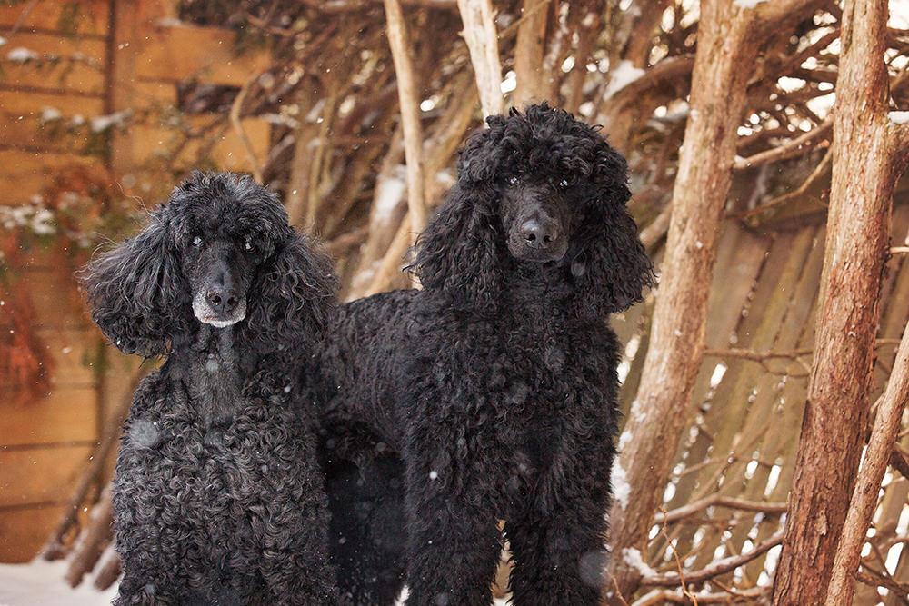 Portraits caniches noirs en hiver