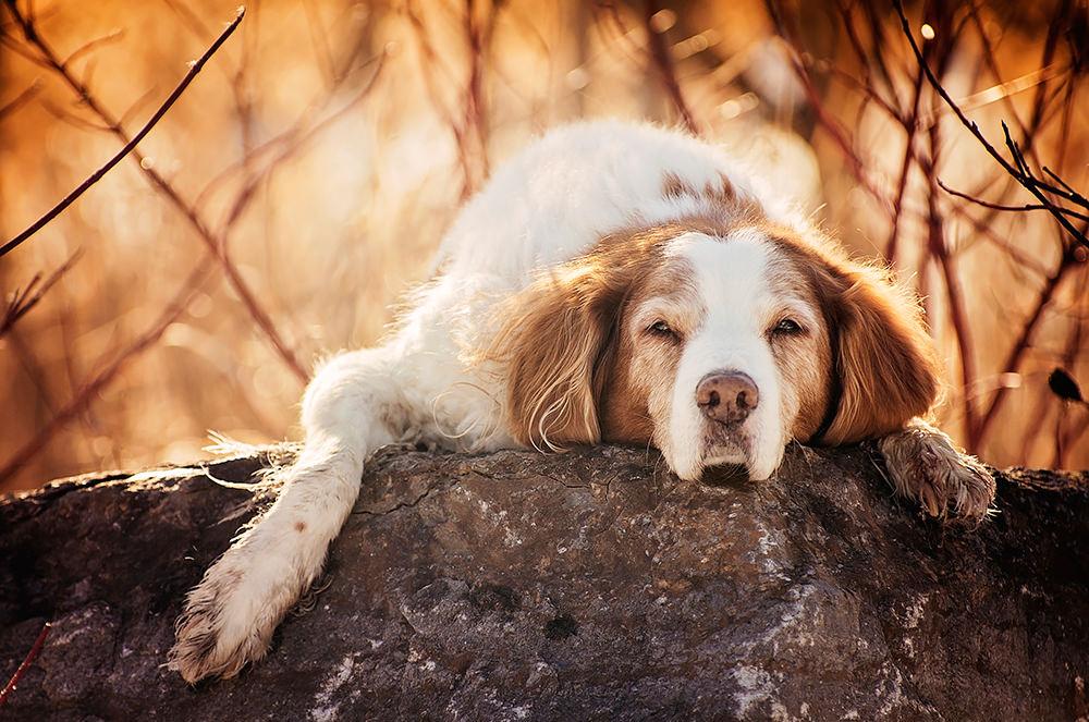 Portrait vieux chien épagneul breton
