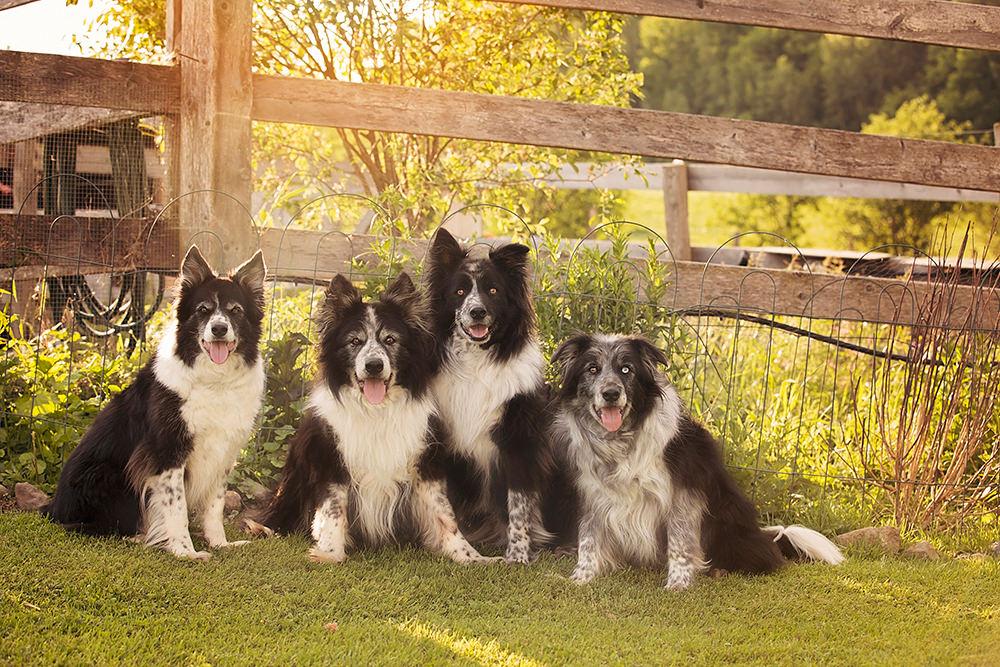 Portrait chiens vieux border collie