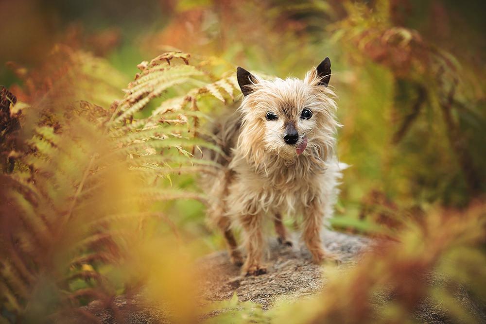 Portrait vieux yorkshire terrier