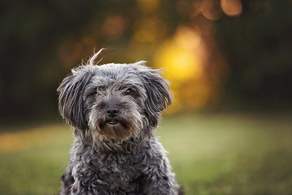 Portrait vieux chien shih tzu