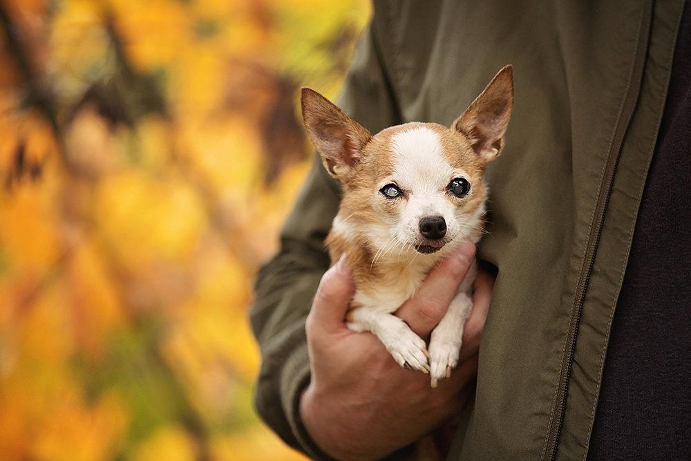 Photo chien âgé chihuahua