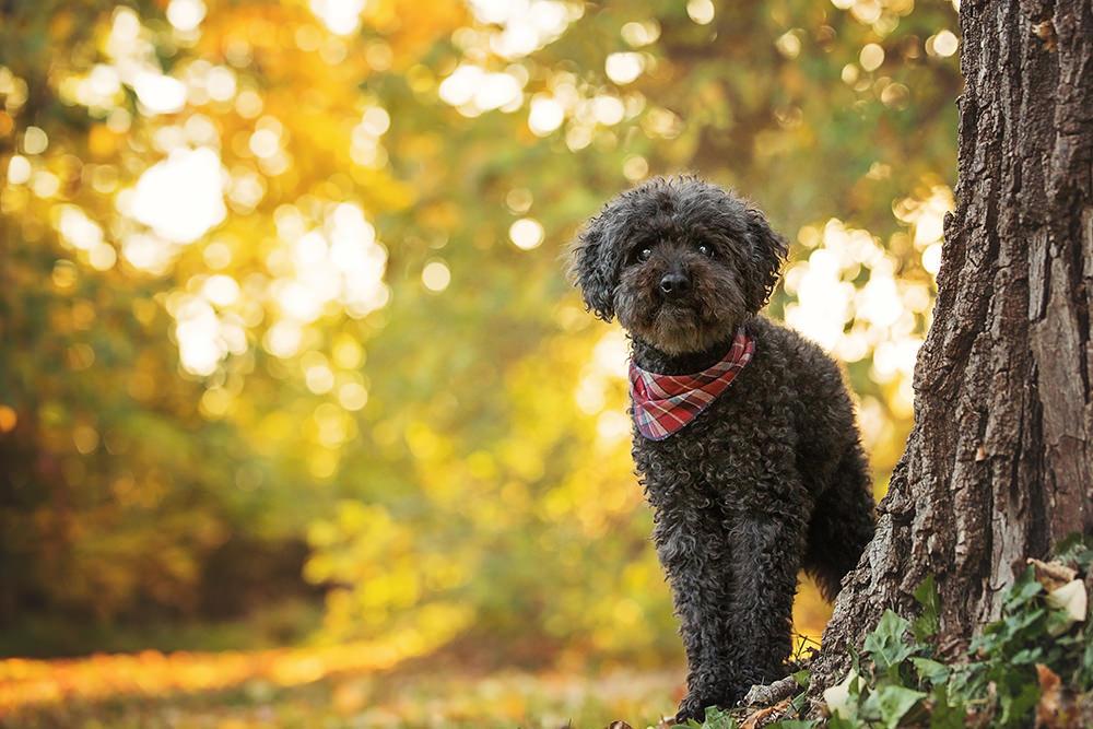 Portrait caniche noir âgé