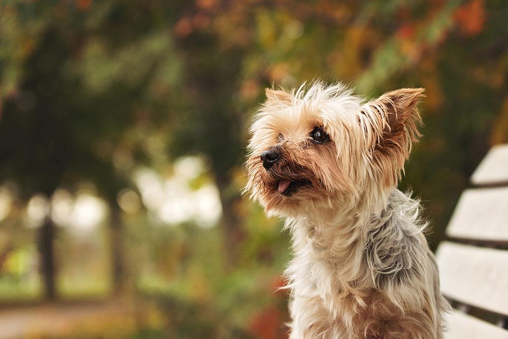 Portrait chiens âgés yorkshire terrier