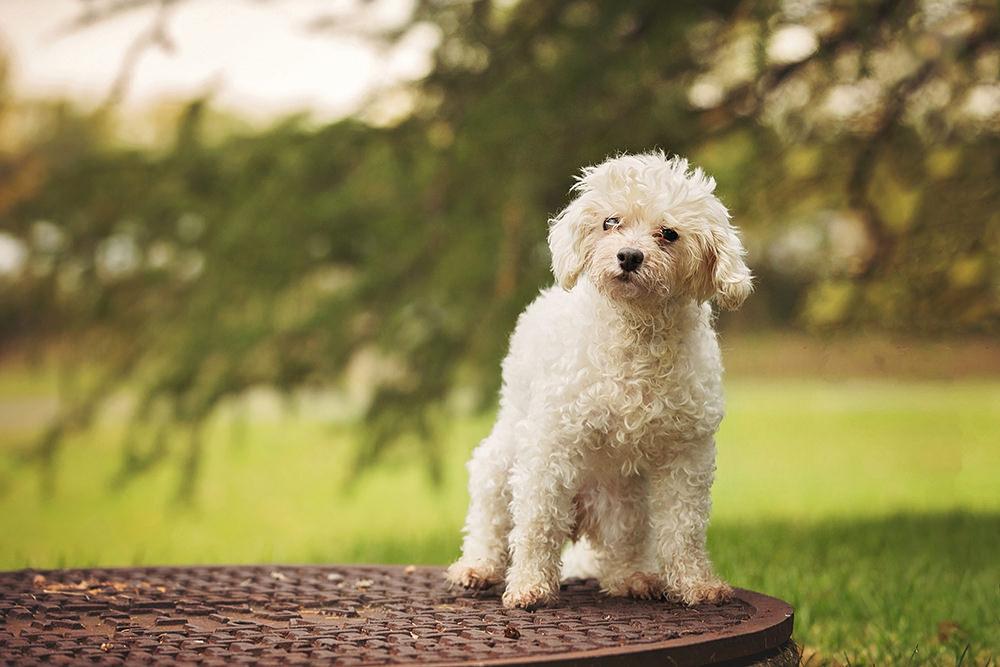 Portrait vieux chien bichon maltais