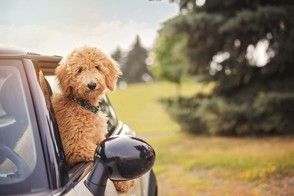 Photo chien goldendoodle dans une voiture