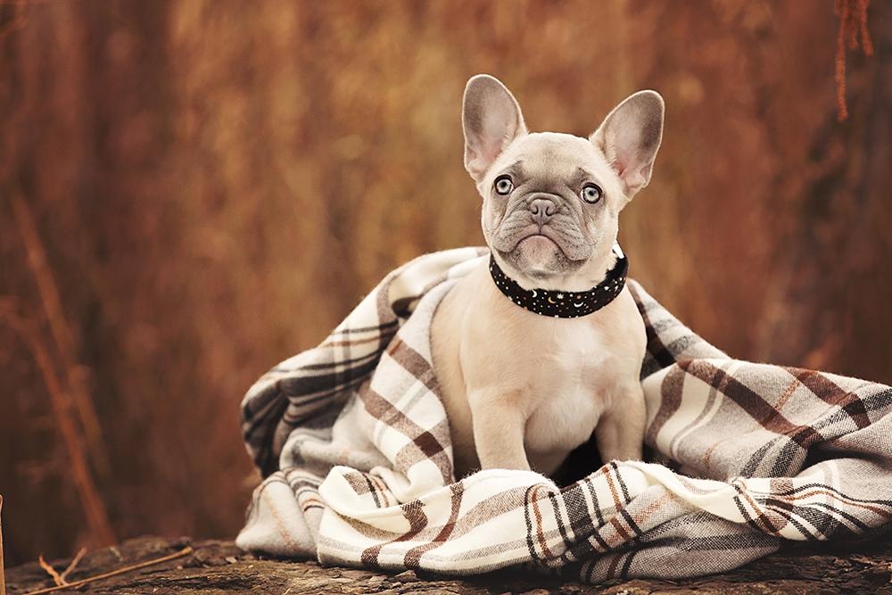 Photo chiot frenchie avec collier pour chien