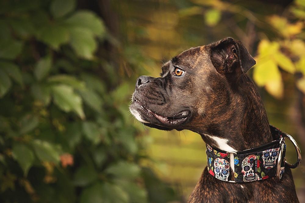 Photo chien boxer avec collier muerte mexicaine