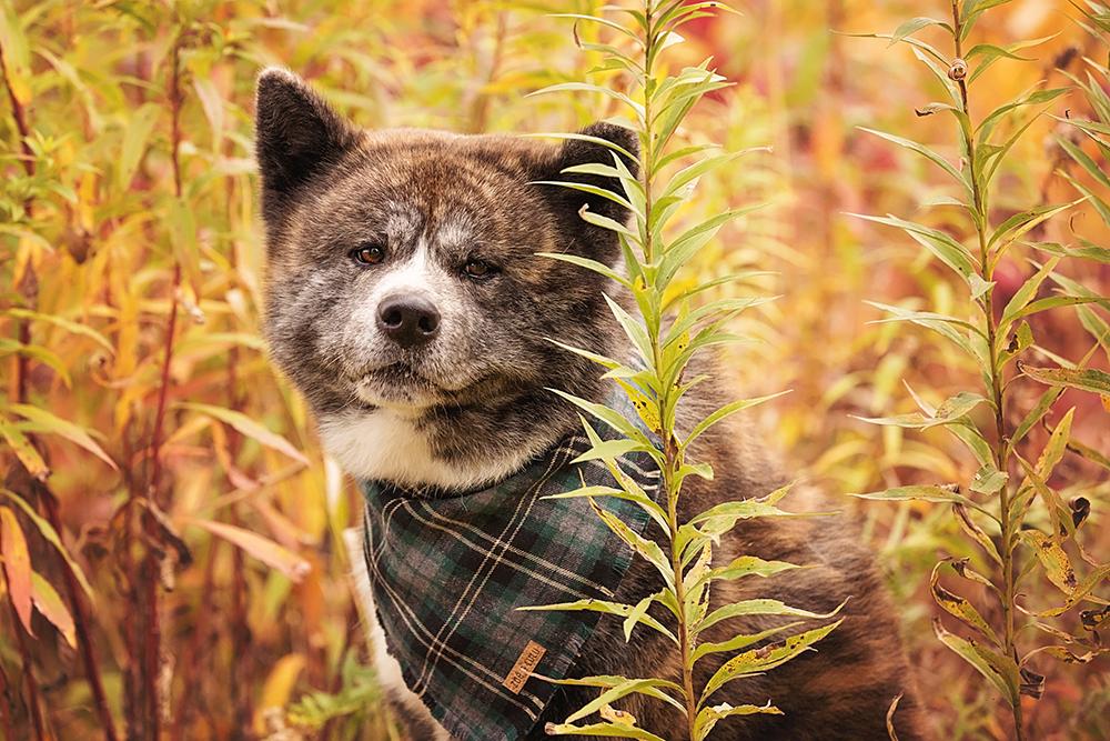 Photo shiba inu avec foulard pour chien