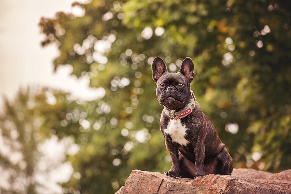 Photo chien bouledogue français avec collier