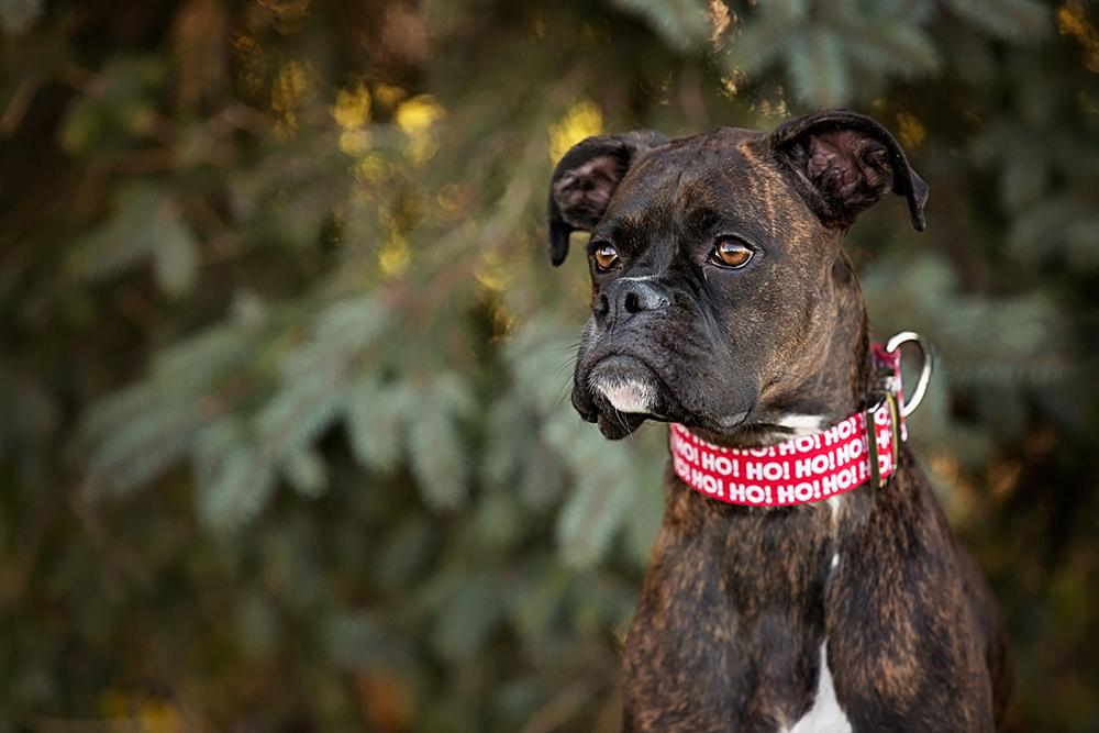 Photo chien boxer bringé avec collier des fêtes