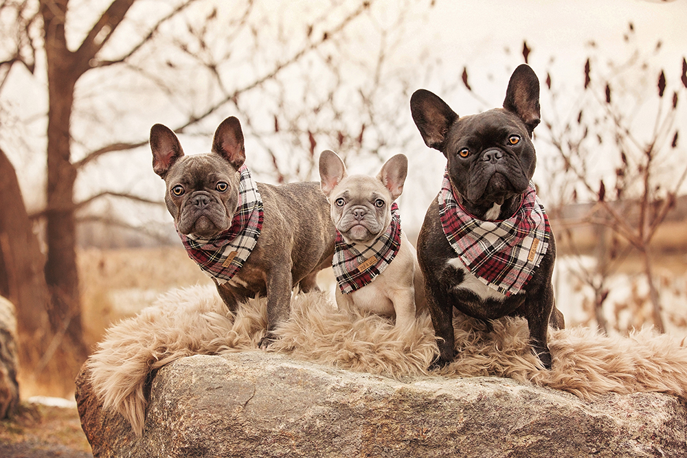 Photo chiens french bulldogs avec foulard
