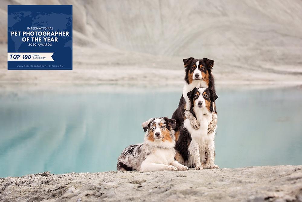 Câlin chiens bergers australiens