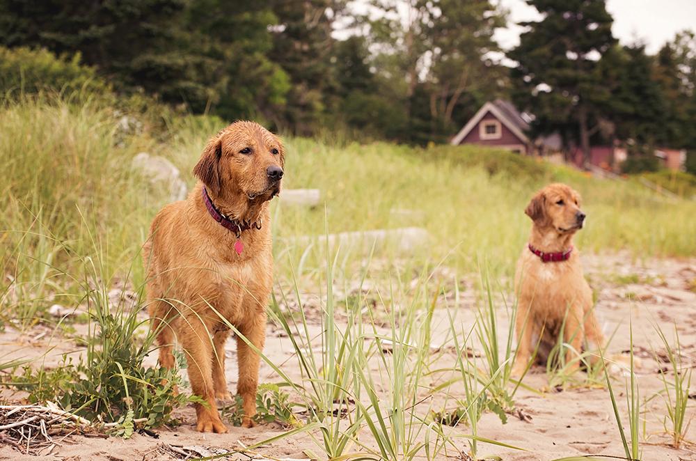 Photo à la plage deux chiens golden retriever dog